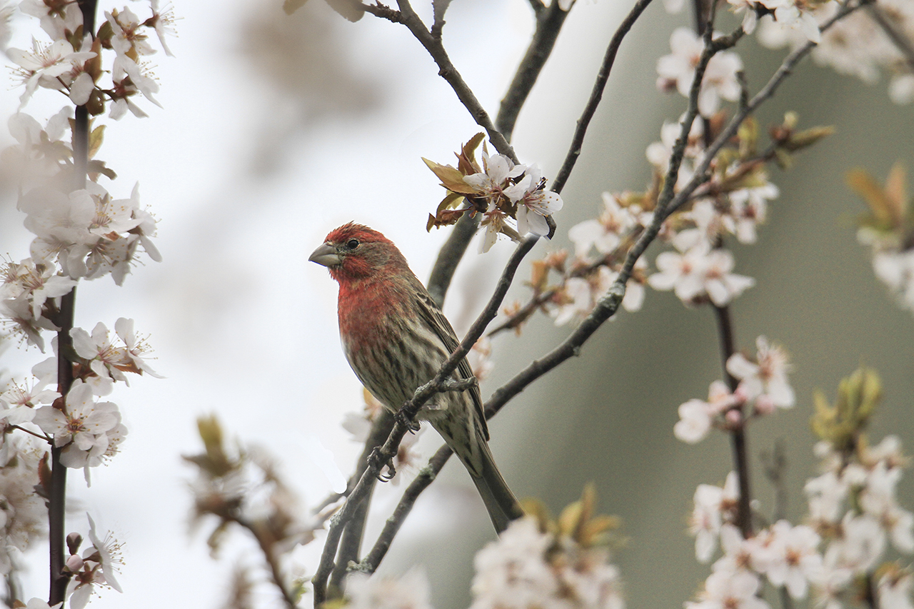 Finch and Cherry Blossoms in Seneca County (photo)